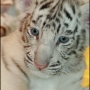 LOVELY HAND RAISED WHITE TIGER CUBS