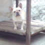 VENDO CACHORROS BULLDOG FRANCES