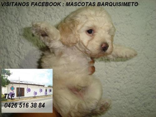 POODLE MINI TOY MINIATURA 900bf -SOMOS CRIADORES-TLF04265163884