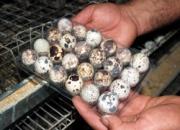 Venta de huevos de codorniz frescos