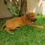 Vendo cachorros Rodesiano, Rhodesian Ridgeback