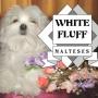 MALTESES WHITE FLUFF