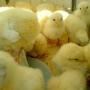 Vendo pollitos bebe al mayor y detal por encargo