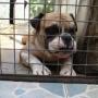 REGALO BULL DOG INGLES POR BEAGLE O SCHNAUZER