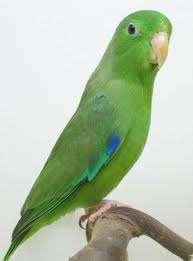 Periquitos verdes - Colores verdes azulados ...