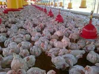 Pollo vivo al mayor garantizados