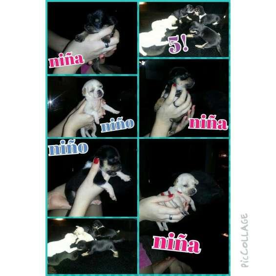 Chihuahuas cachorros