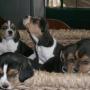 vendo cachorros beagle tricolor padres importados de españa