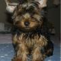 Cachorros Yorkshire Estándar en adopción