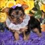 cachorro yorkshire terrier de un nuevo propietario