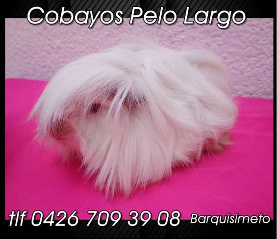 Cobayos pelo largo.. tlf 04267093908.. barquisimeto