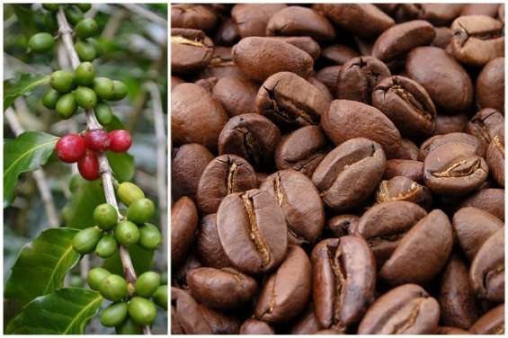 Venta de caffe criollo y gourmet